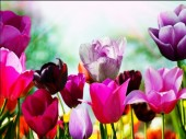 R-E6.1  S367 Diamond Painting Set Tulips 50x40cm Round
