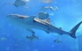 T-P7.1 H541 Diamond Painting Set Whale Shark Round Stones 50x40cm