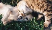 T-M6.2 S891 Diamond Painting Set Puppy with Kitten 50x40cm