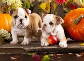 Q-C3.1 X042 Diamond Painting Set Bulldog Puppies 40x30cm